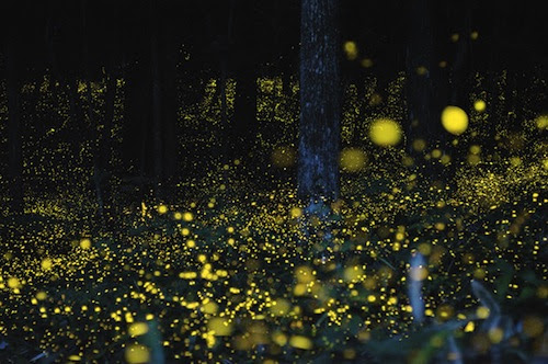 Photograph of Gold Fireflies in Japan