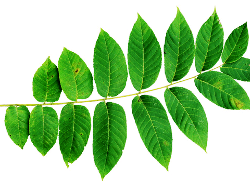 Herb of the month: Black Walnut Leaf
