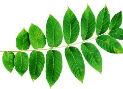 Herb of the month: Black Walnut Leaf
